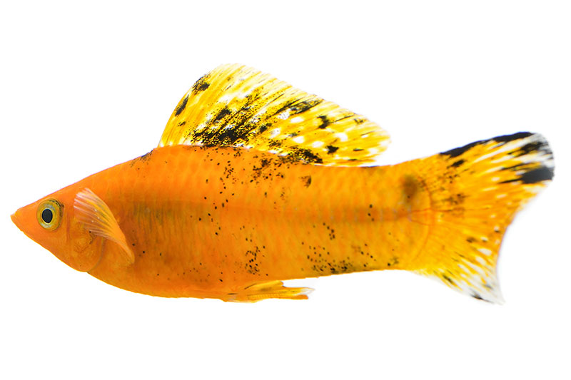 MollyFish